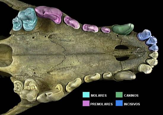 dentadura del pastor aleman, imagen ilustrativa de la conformacion de la dentadura del pastor aleman
