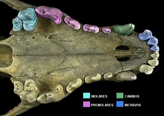 imagen ilustrativa de la dentadura del pastor aleman, dentadura de cachorro
