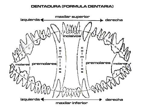 Formula dentaria de pastor aleman, dientes que forman la dentadura y su implante en las mandibulas